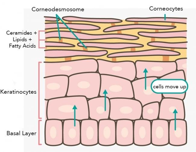 skin turnover process